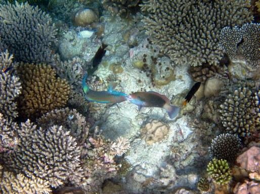 Fighting Parrotfish