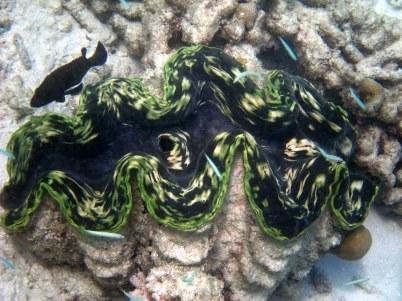 HUGE clam!