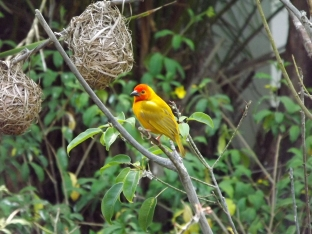 Colourful Weaver birds