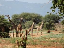 Giraffe Gathering