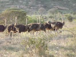 Ostrich Harem