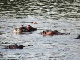 Hippo at Mzima Springs