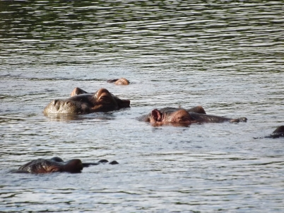 Hippo at Mzima Springs