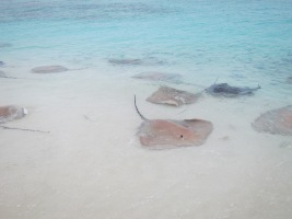 Stingray feeding (I do not approve)