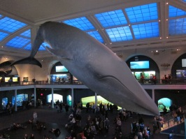 Life size blue whale at AMNH