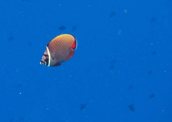 Collared Butterfly fish