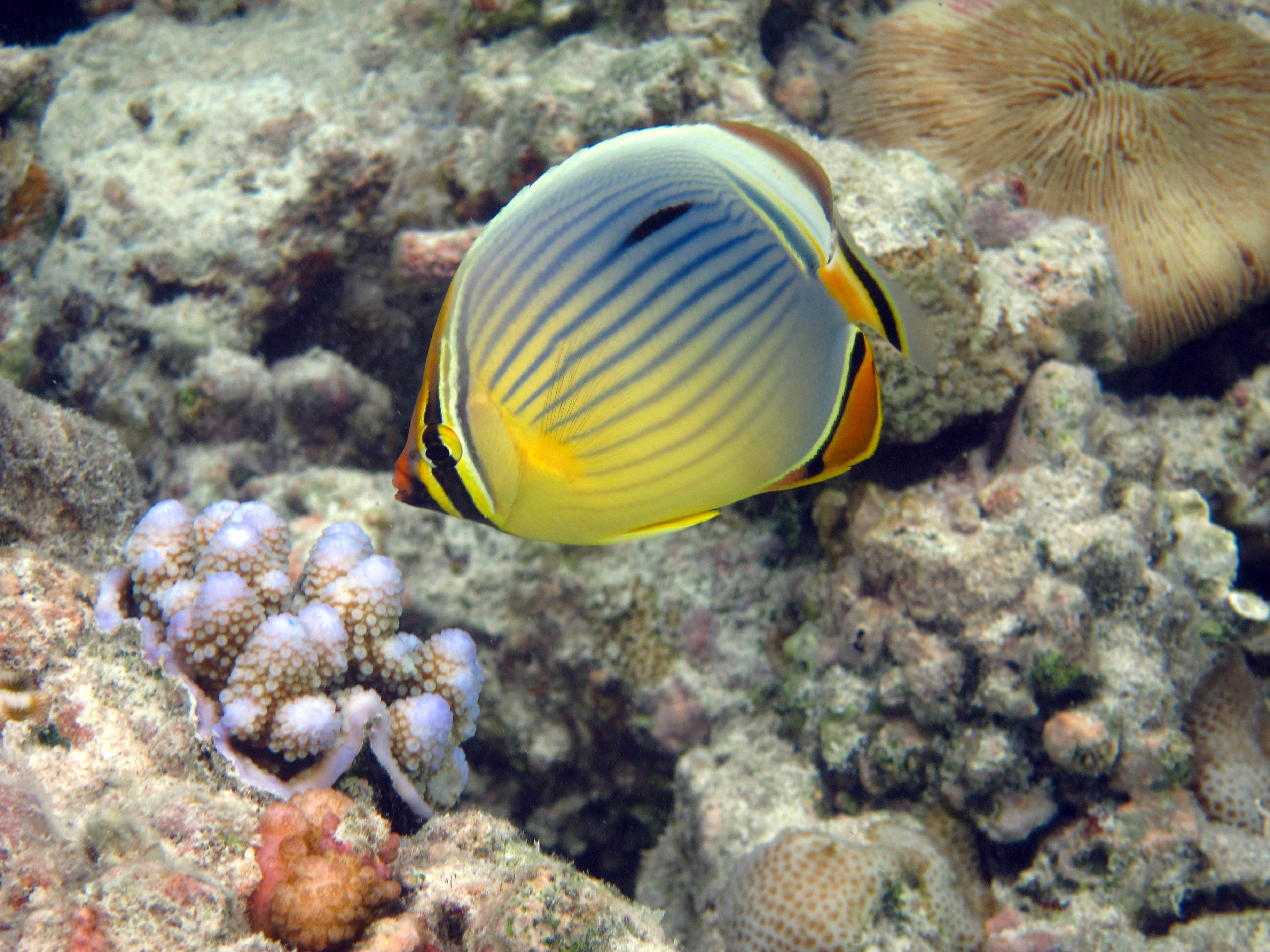 Oval butterflyfish - photo#26