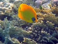 Masked Butterfly fish