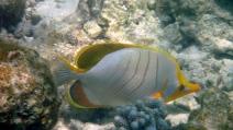 Yellowhead Butterfly fish