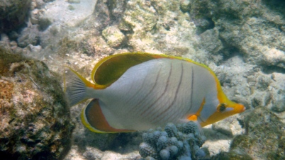 Yellowhead Butterfly fish