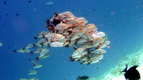 School of humpback red snappers