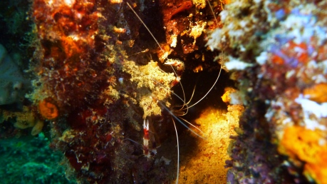 Banded Boxing Shrimp