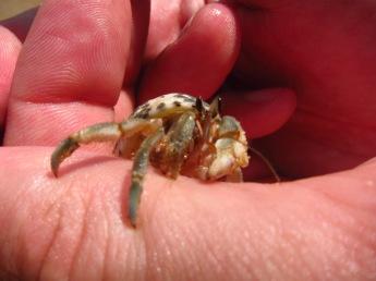 Landside Hermit Crab