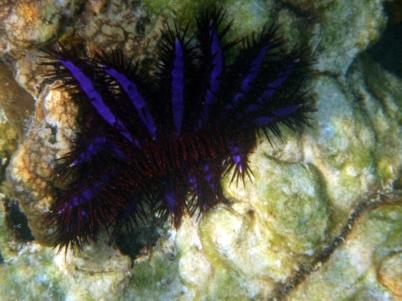 Thorny Starfish